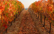 carmenere-vines-feat